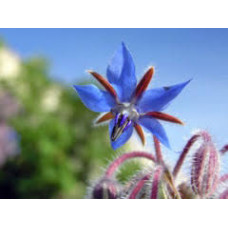 Borage oil 23% GLA